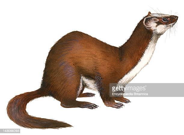Common Weasel LongTailed Weasel
