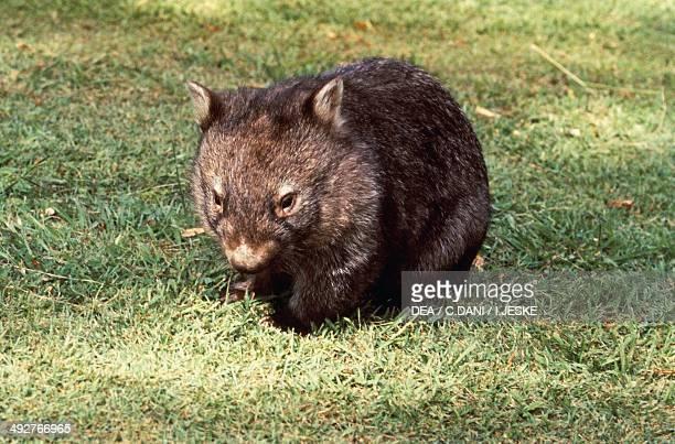 Common wombat Coarsehaired wombat or Barenosed wombat Vombatidae
