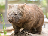 Common wombat stands on a tree trunk and curiously looks something
