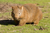 A wombat stops and looks at camera. Shot taken in Victoria, Australia.