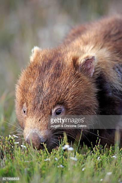 Common Wombat -Vombatus ursinus-, adult, foraging, Wilsons Promontory National Park, Victoria, Australia