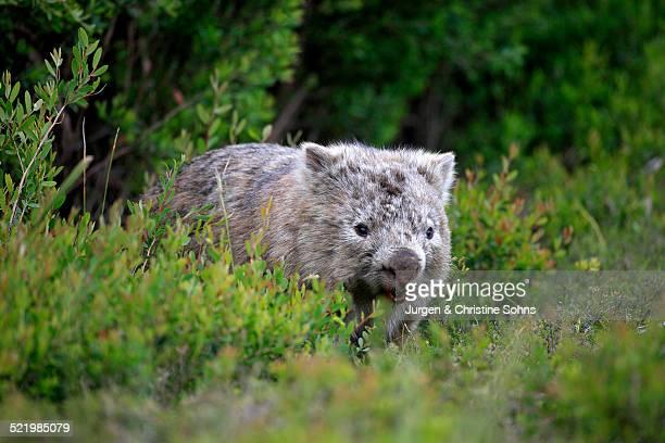 Common Wombat -Vombatus ursinus-, adult, Wilsons Promontory National Park, Victoria, Australia