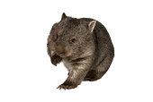 """""""Common wombat, Vombatus ursinus hirsutus, on white background"""""""