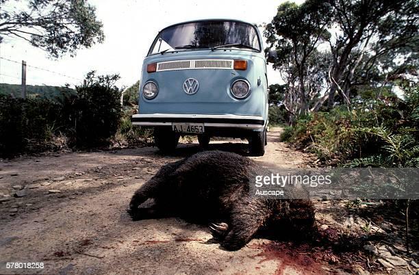 Common wombat Vombatus ursinus road kill Tasmania Australia