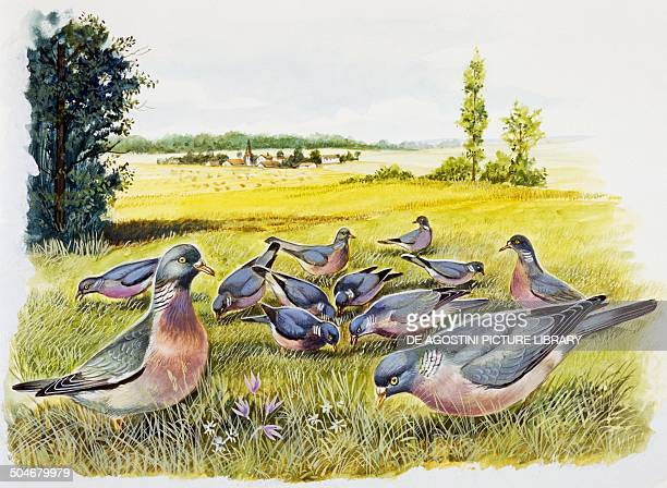 Common wood pigeons in a meadow Columbidae drawing
