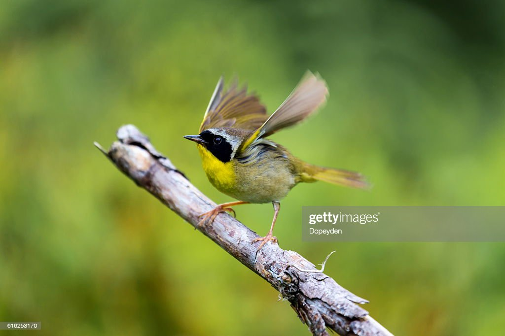 Common Yellowthroat. : Foto de stock