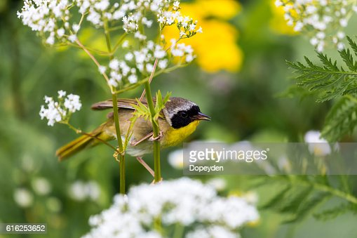 Common Yellowthroat. : Stock Photo