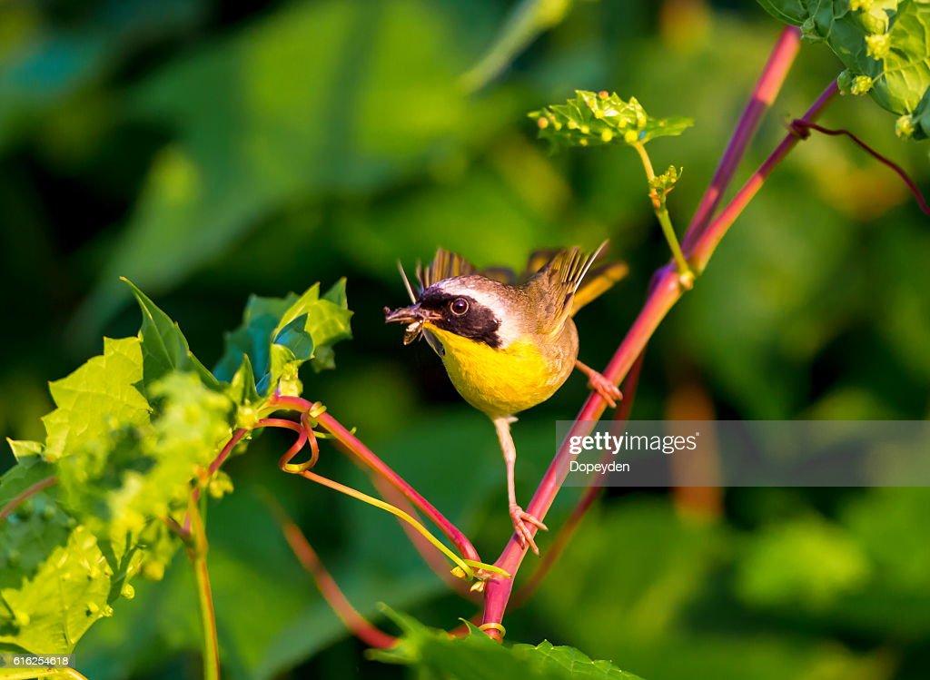 Common Yellowthroat. : Stock Photo