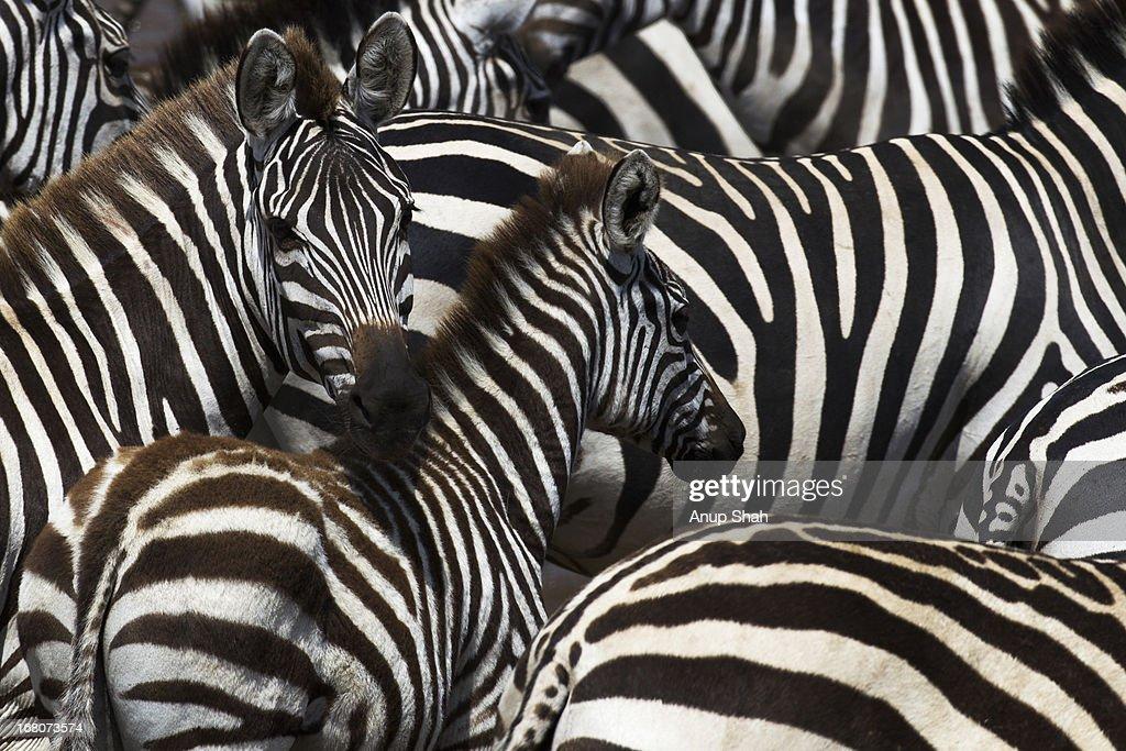 Common zebra herd gathering