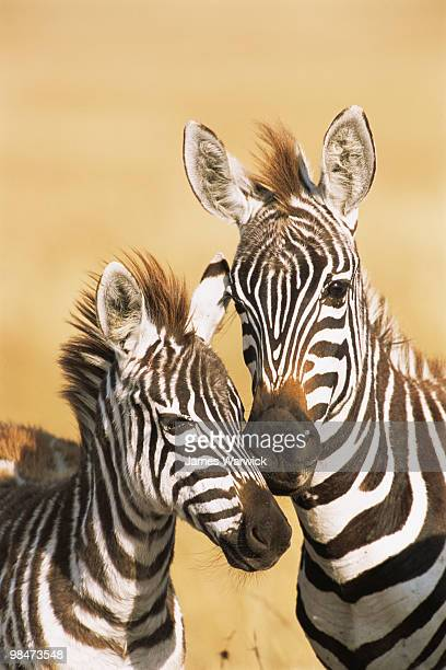 Common zebra mother with foal