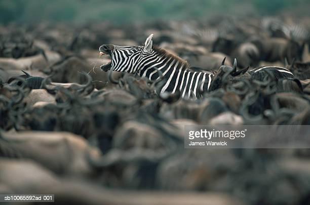 Common zebra (Equus quagga) yawning amongst wildebeest herd (Connochaetes taurinus)