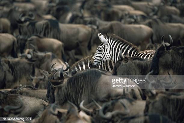 Common zebras (Equus quagga) amongst wildebeest herd (Connochaetes taurinus)