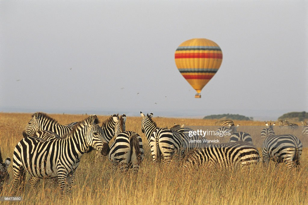 Common zebras and hot air balloon safari : Stock Photo
