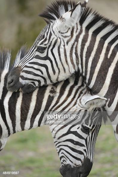 Common Zebras are pictured at Pairi Daiza animal park in Brugelette on April 15 2014 AFP PHOTO / JOHN THYS