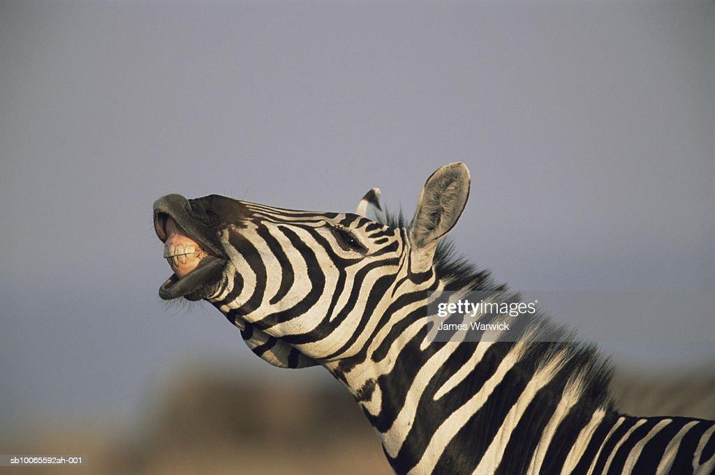 Common zebras (Equus quagga) bearing teeth, close-up