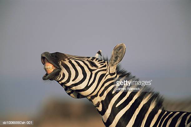 Common zebras (Equus quagga) bearing teeth, close-up