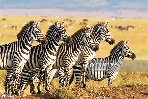 Common zebras lining up