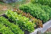 Rows of green vegetables grow an urban community garden
