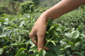 A community member harvests tea leaves at Doi Wawi in Mae Suai district The trees are planted on terraces to be harvested three times per year Some...