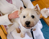 Companionship: therapy pet westie dog on lap of person in residential care home for elderly people in New Zealand, NZ