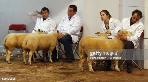 Competetitors wait beside the judging ring before showing their sheep at the biannual Smithfield Show in London The two pairs of sheep are Texels and...