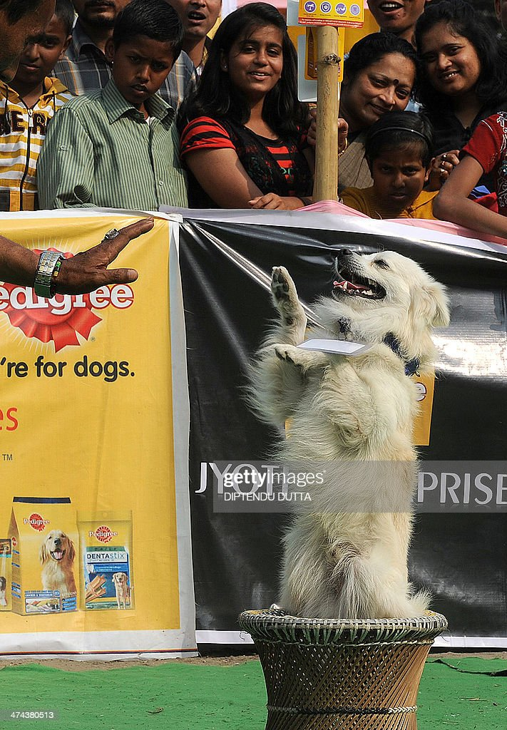 A competitor performs a balancing trick during a dog show in Siliguri on February 23, 2014. The event which took place in the eastern Indian city was organised by the People for animals (PFA) where various breeds of dogs were seen.AFP PHOTO /Diptendu DUTTA