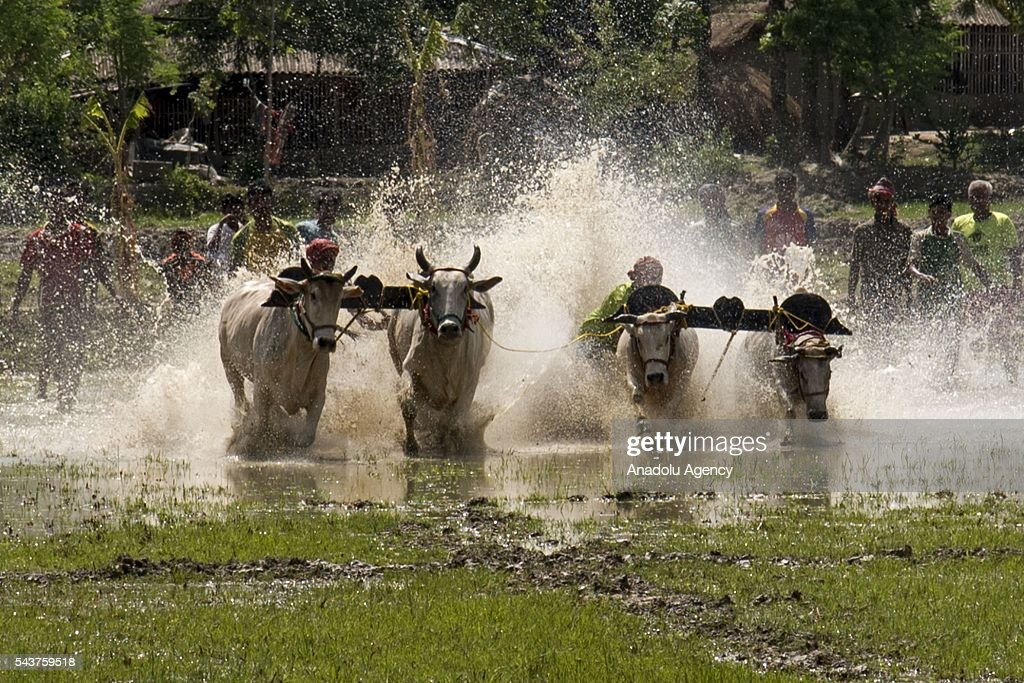 A competitor takes part in an annual cattle race at Herovanga village in West Bengal, India on June 30, 2016.