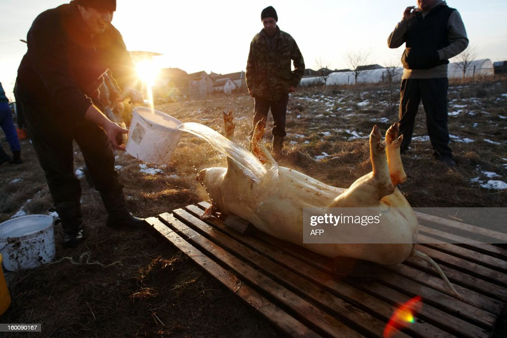 Competitors butcher a pig during the Pigs Carvers Festival in the Transcarpathian village of Gecha, some 800 km from the capital Kiev on January 26, 2013. Some 26 teams of butchers from Ukraine, Hungary and Serbia, the countries who cultivate pig-breeding, took part in this traditional competition. Each team has to kill a pig, butcher the carcass and prepare a variety of dishes made from the pork.