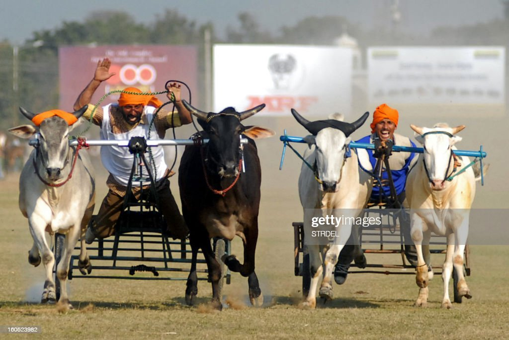 Competitors take part in a bullock cart race during the Kila Raipur Sports Festival, also known as the 'Rural Olympics', at Kila Raipur, some 20 kms from Ludhiana, on February 2, 2013. The rural sporting event, which first took place in 1933, is held over a three-day period with competitors taking part in bullock cart racing, equestrian events, and shows of strength.