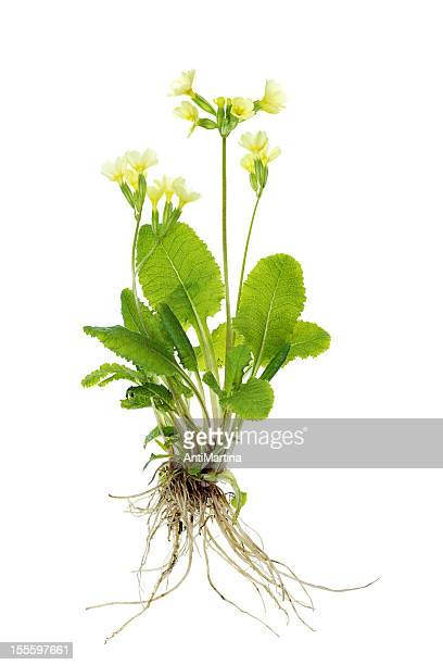 complete primrose plant (cowslip / primula veris) isolated on white