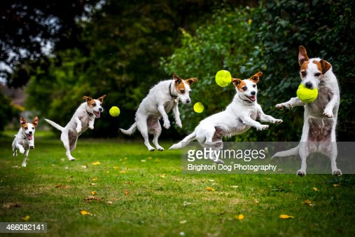 Composite of a jumping Jack Russell