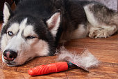 Concept annual molt, coat shedding, moulting dog. Siberian husky lies on wooden floor next to red rakers brush.
