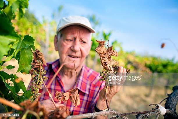 Concerned farmer checking grapevine