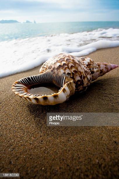 Conch shell at Beach