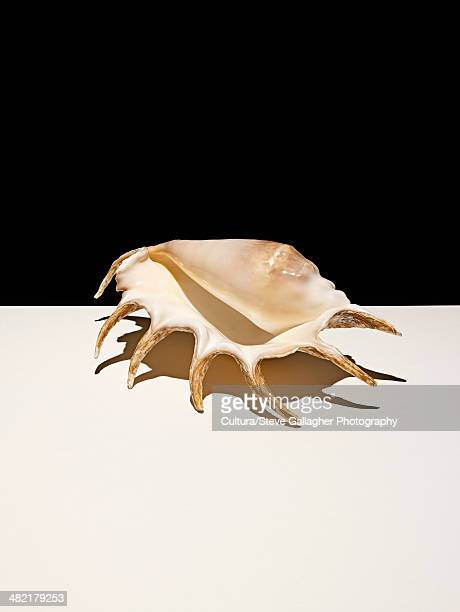 Conch shell casting shadows on table