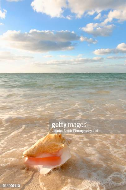 Conch shell in sand on tropical beach