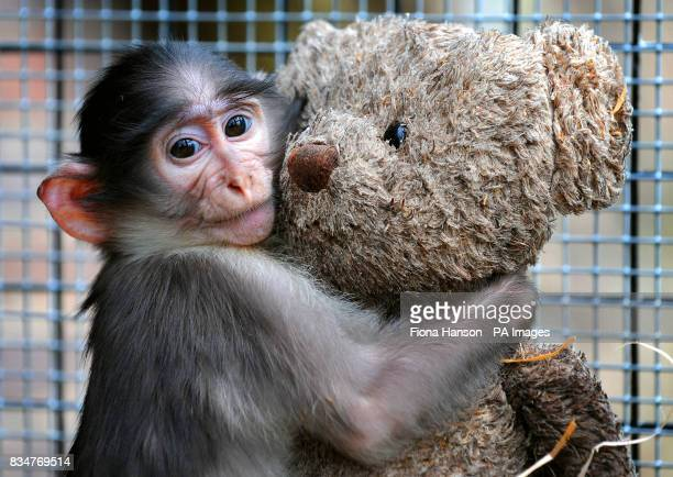 Conchita a seven month old baby Mangabey monkey at London Zoo The monkey has been hand reared with the aid of a teddy bear which acts as a substitute...