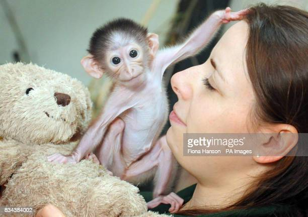 Conchita a three week old whitenaped mangabey monkey who is currently hand rearing her following her mother's recuperation from a caesarian with help...
