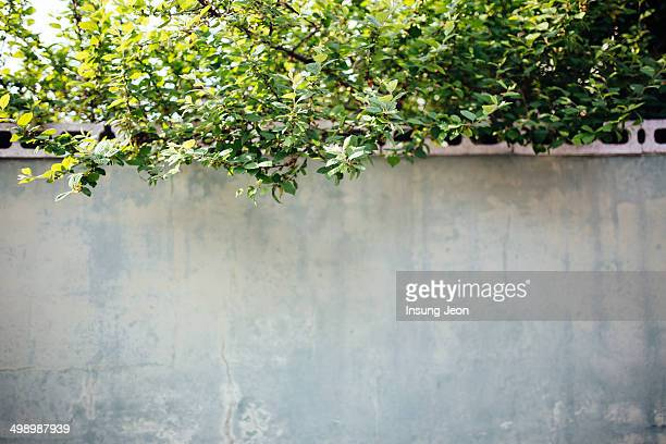 Concrete wall with green leaves.