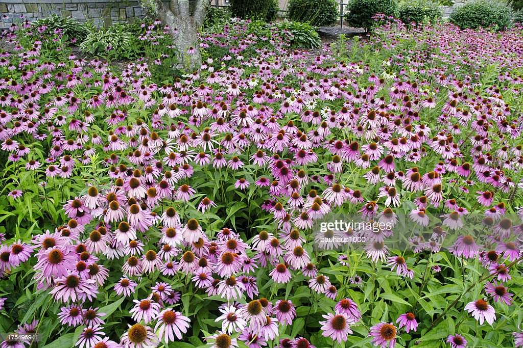'Coneflower, Echinacea'