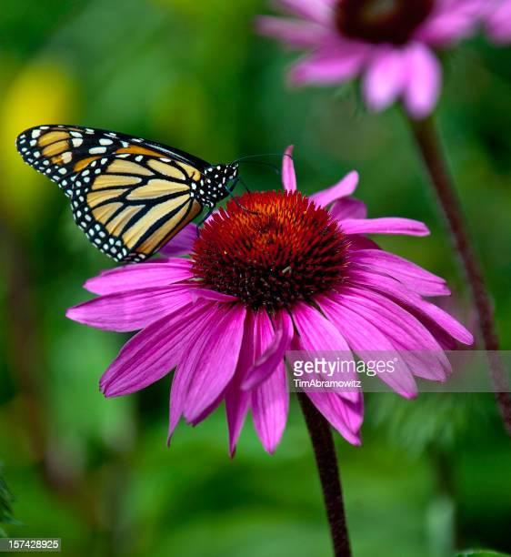 Equinácea púrpura monarca