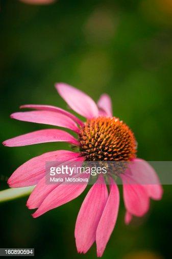 Coneflowers in Bloom : Stock Photo