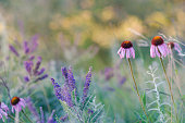 Beautiful coneflowers in the prairie's of the Midwest.