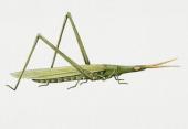 Coneheaded grasshopper Acrididae Artwork by Brigette James