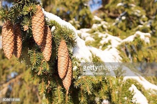 Cones in Spruce Tree : Stock Photo