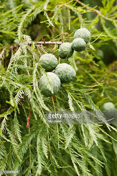 Cones Of The Bald Cypress Tree