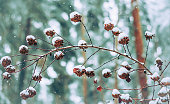 Covered with snow cones on a branch of a bush on a blurred background forest and falling snowflakes. Selective focus.