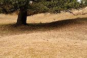 pine cones lying on dry grassland