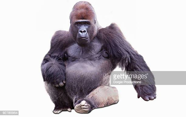 Confident Male Gorilla