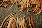 Confiscated elephant tusks are displayed at the grounds of the Protected Areas and Wildlife Bureau headquarters at the Ninoy Aquino Parks and...